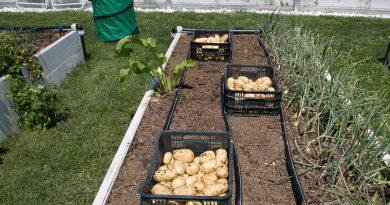 Primii cartofi bio