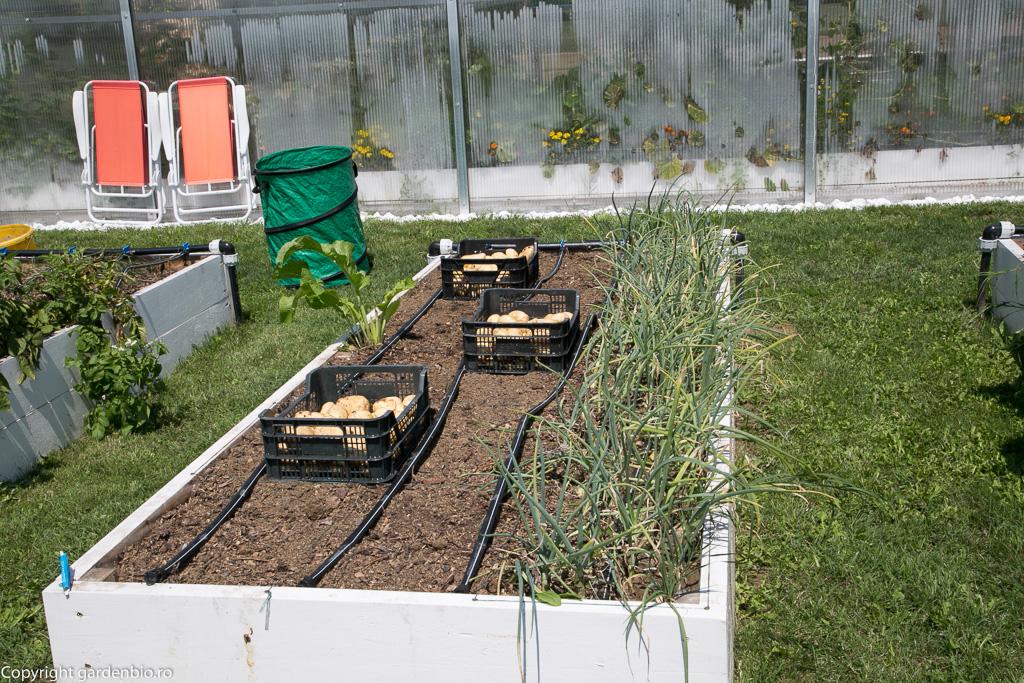 Cartofii afaneaza solul pentru culturile urmatoare