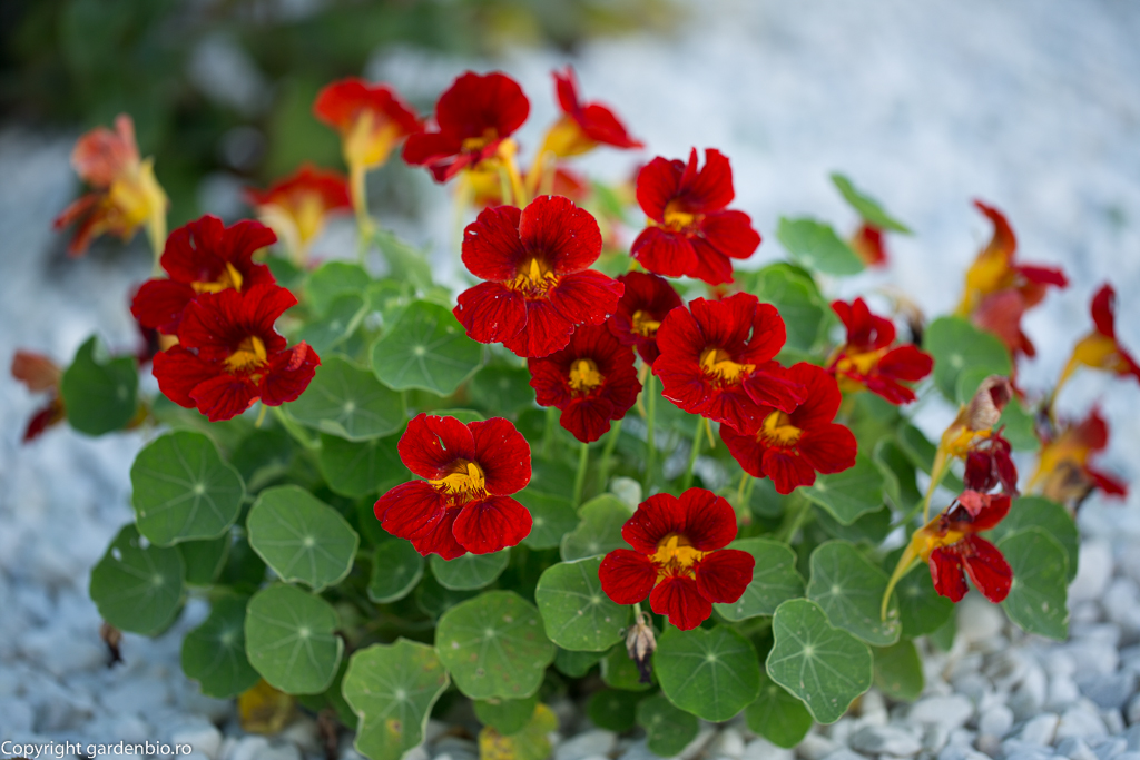 Nasturtium (Condurul doamnei sau condurași) - plantă capcană, atrage dăunătorii
