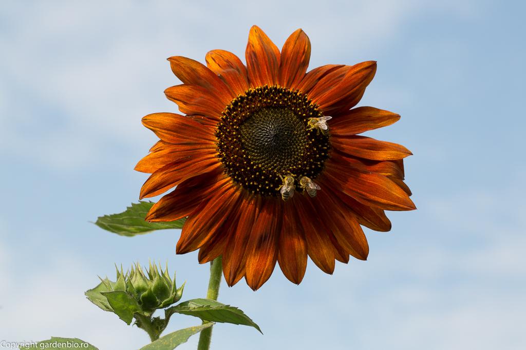 Albinele polenizeaza plantele pentru o recolta bogata