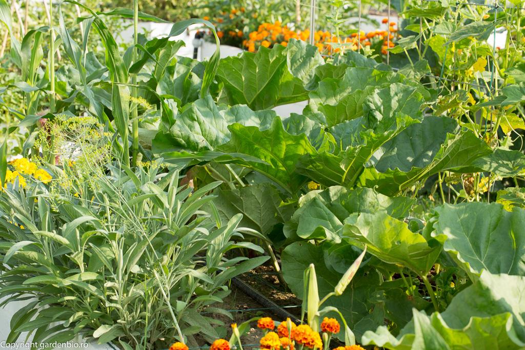 Rubarba Victoria si plante companion