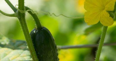 Castraveții din seră și grădină