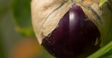 Tomatillo – roșa mexicană