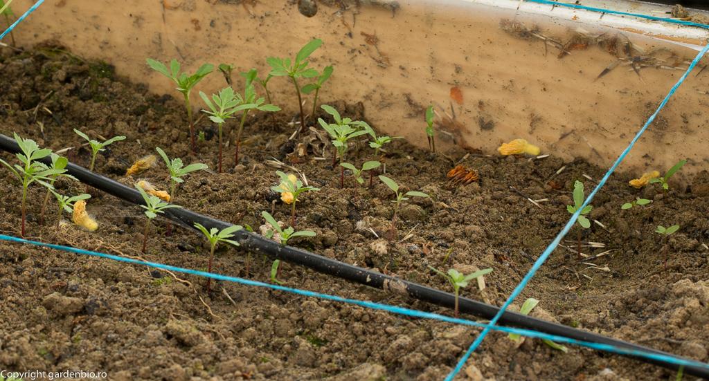 Tagetele se inmultesc foarte usor din semintele cazute pe sol de la planta