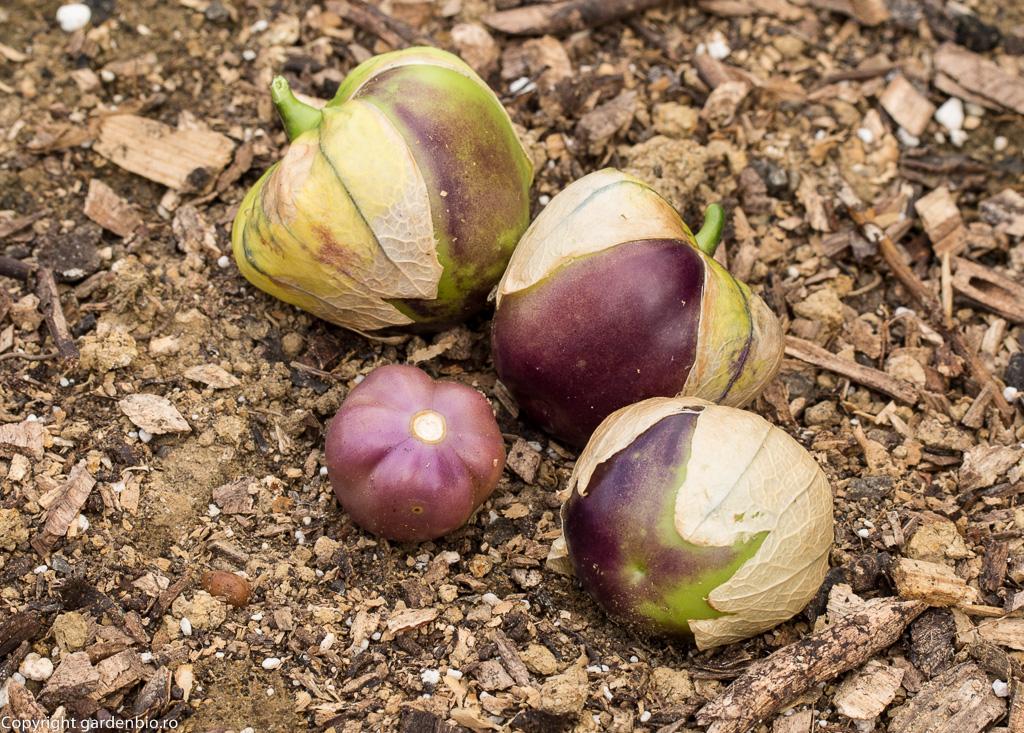 Violet Tomatillo