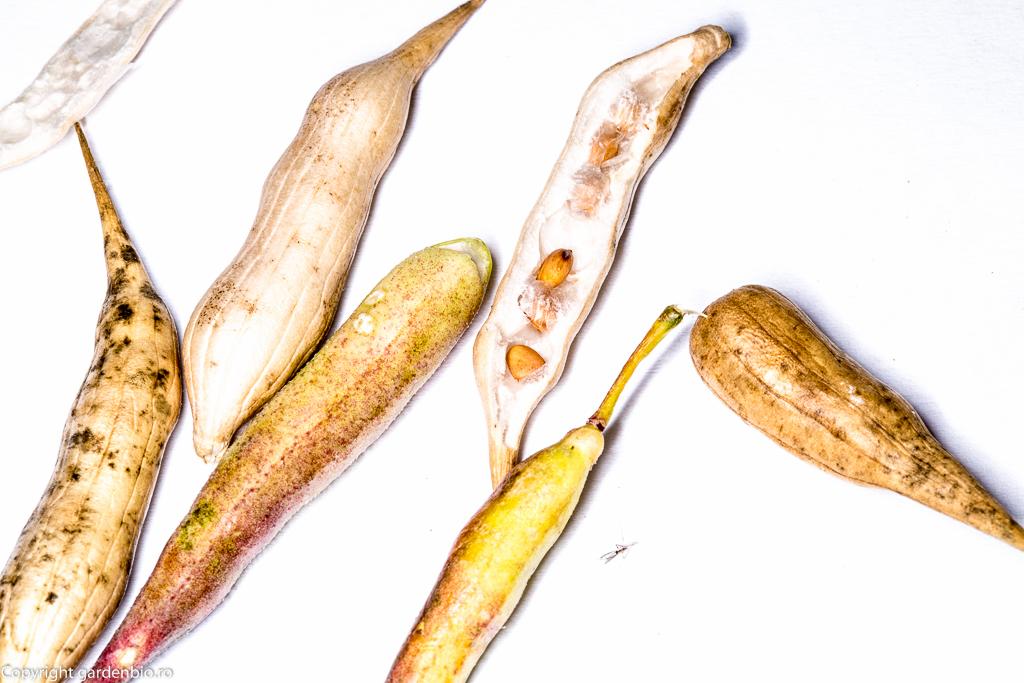 Recoltă de semințe de ridichi din silicve