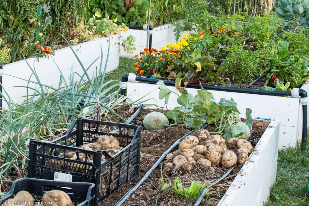 Recoltă de cartofi