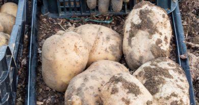 Cartofi Cosmos și Maria Bard