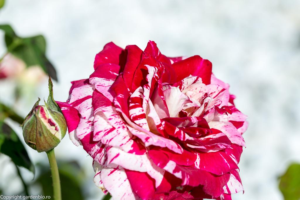 Trandafir Julio Iglesias
