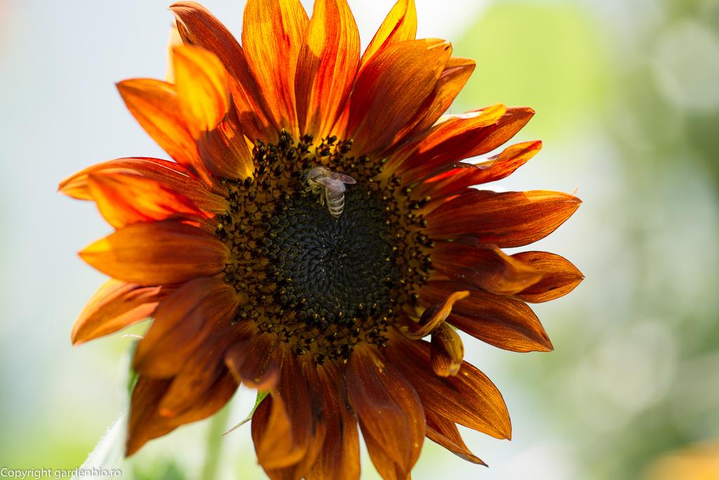 Floarea soarelui Earthwalker