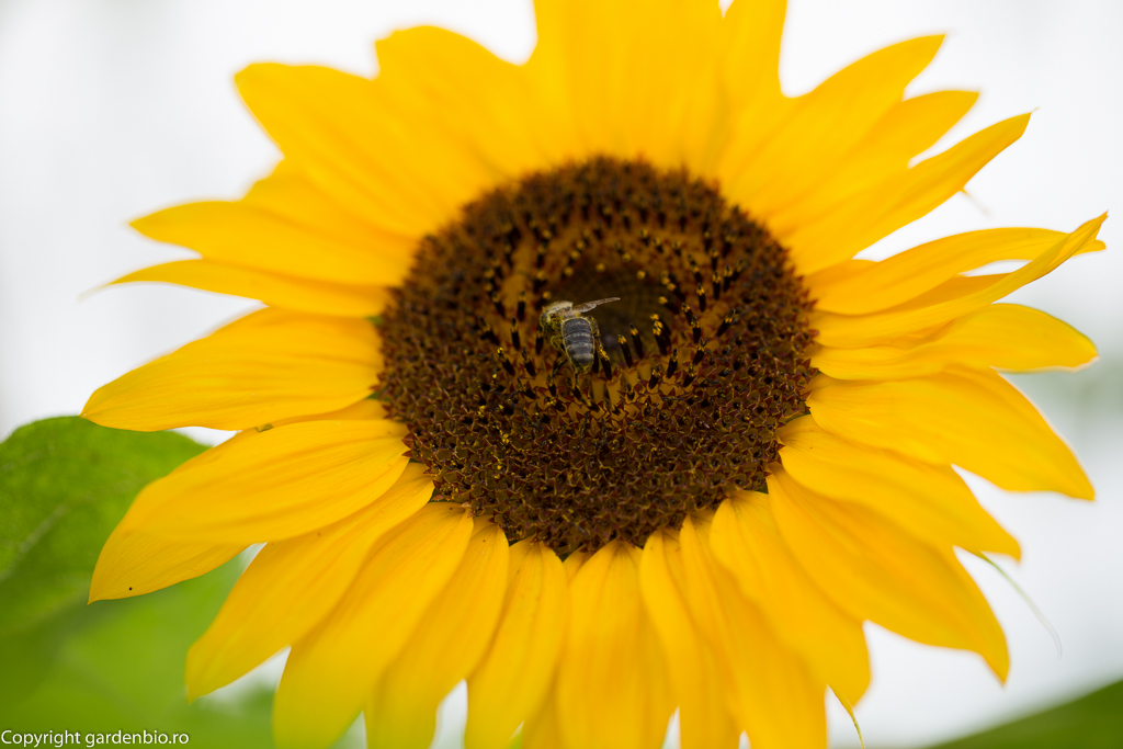 Floarea soarelui Pastiche