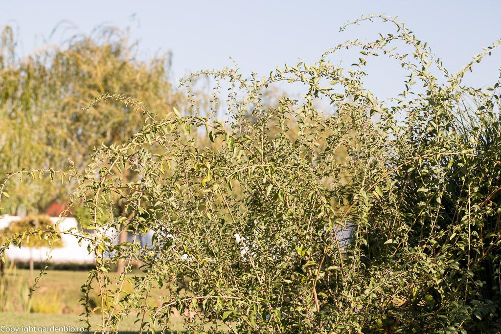 Arbust de goji