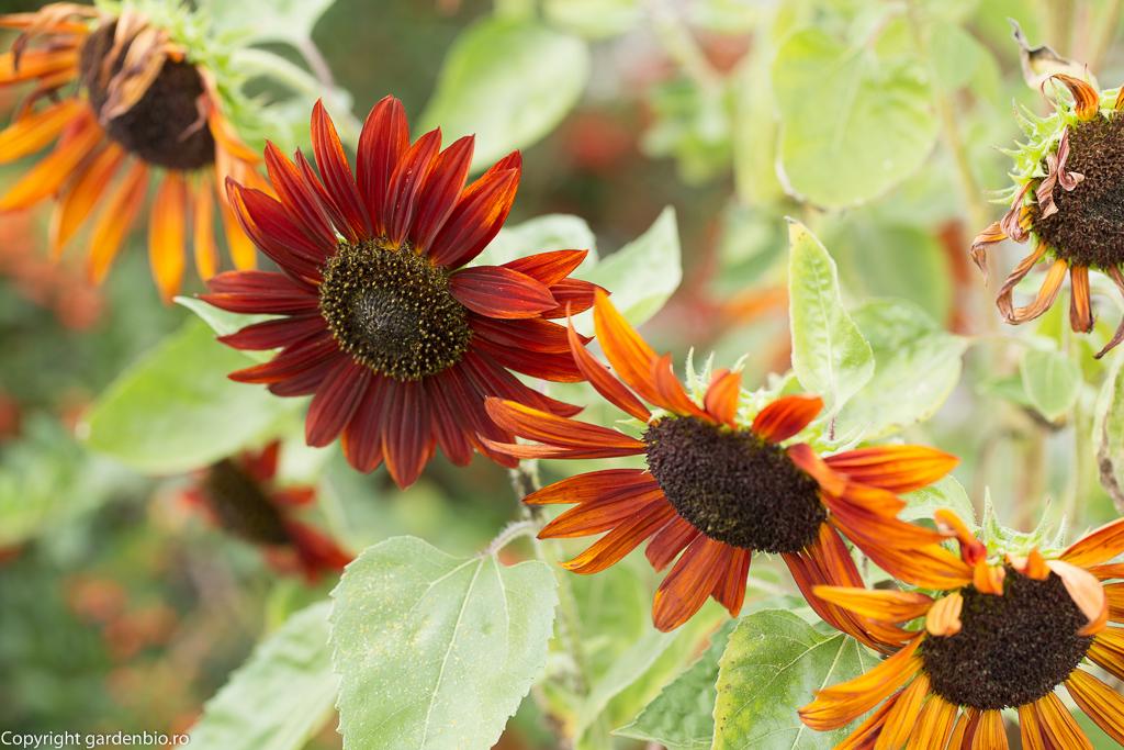 Floarea soarelui Earthwalker - preferata mea