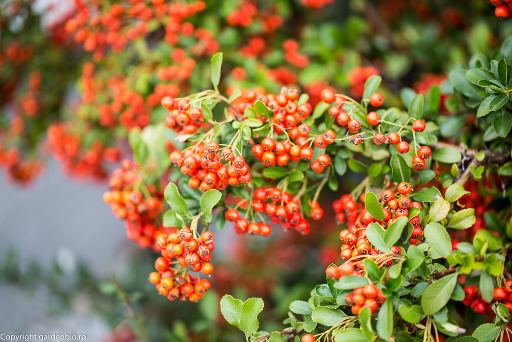 Fructele de pyracantha sunt foarte decorative pe toata durata iernii