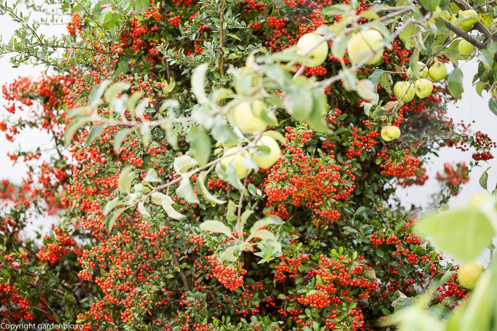 Fructele de pyracantha reprezinta o sursa de hrana pentru pasari in timpul iernii