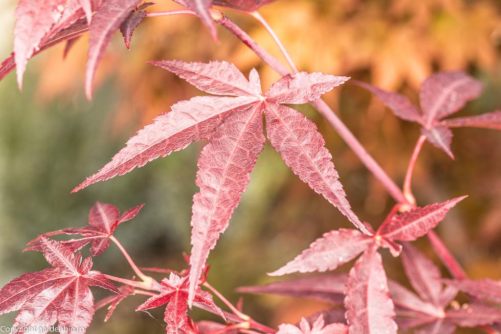 Frunze de artar japonez