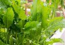 Măcrișul – legumă și medicament