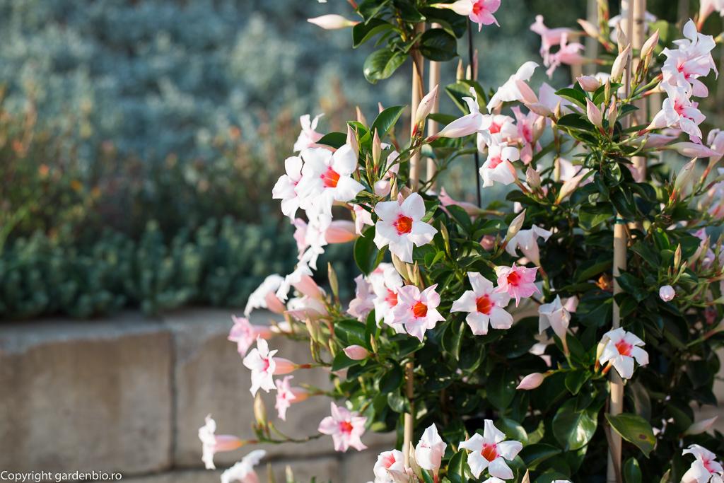 Mandevilla roz