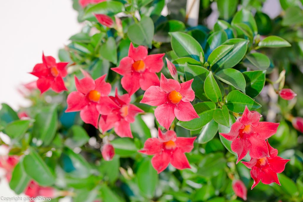 Mandevilla cu flori rosii