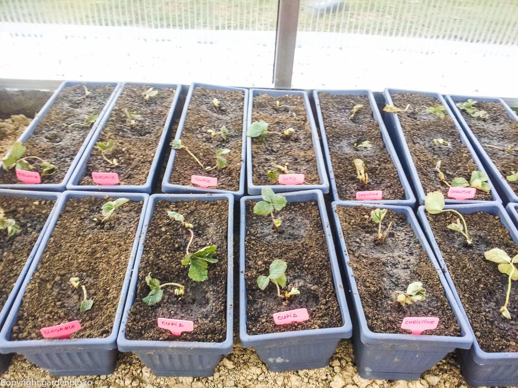 Primii căpșuni cultivați în ghivecele din seră, din stolonii lor îmi voi popula grădina cu căpșuni