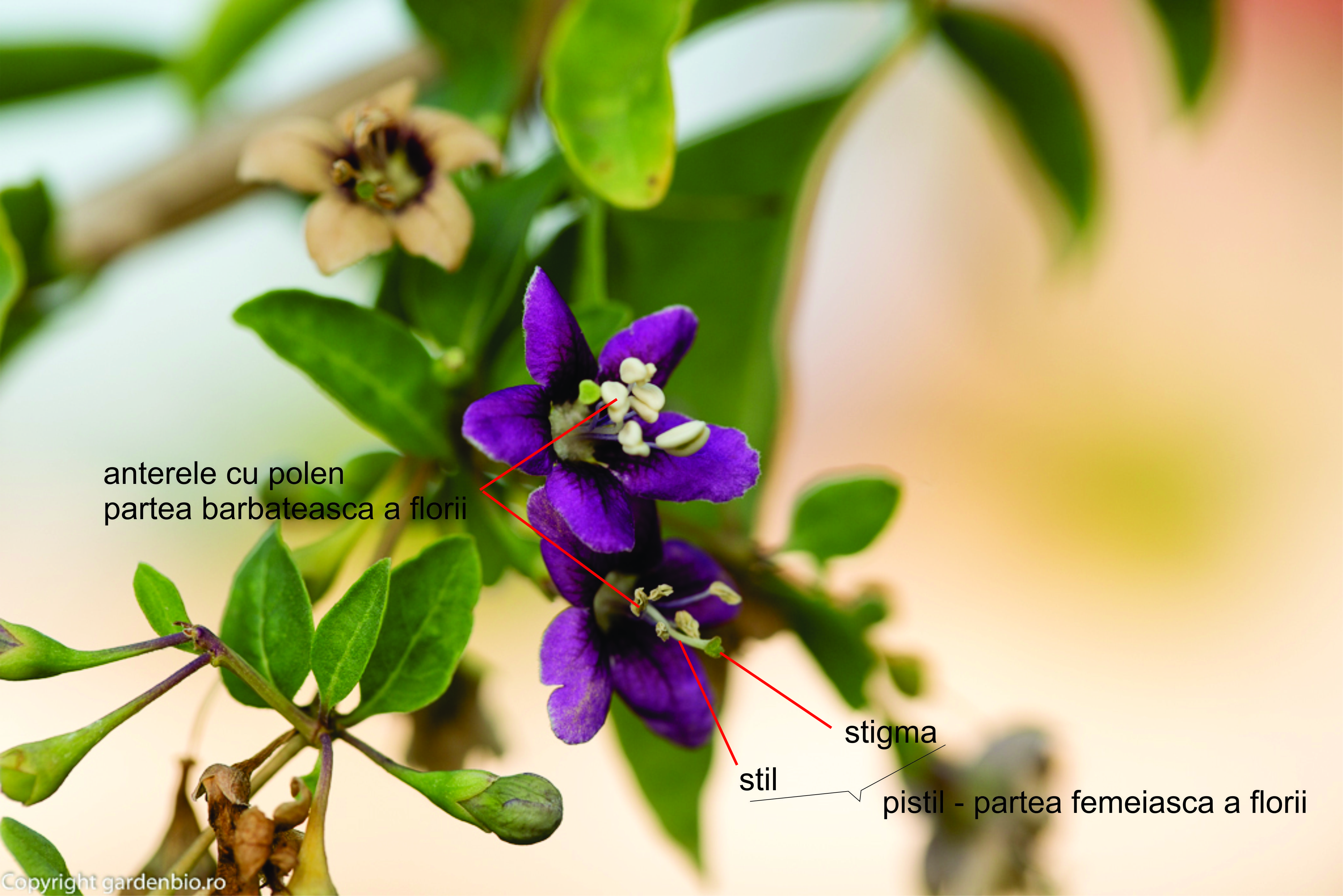 Flori perfecte la goji