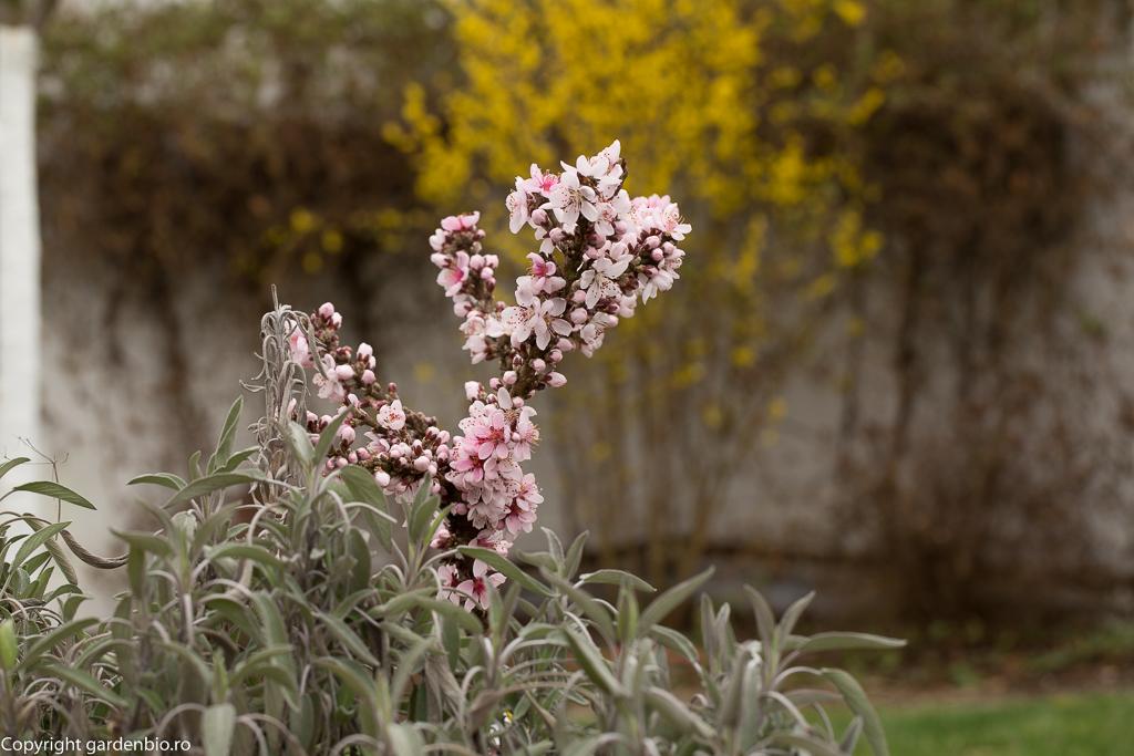 Salvie, flori de piersic si forsitia