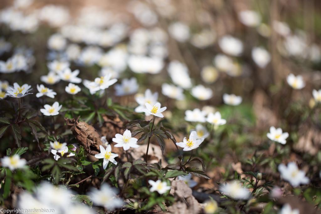 Pastita alba - Anemone nemorosa