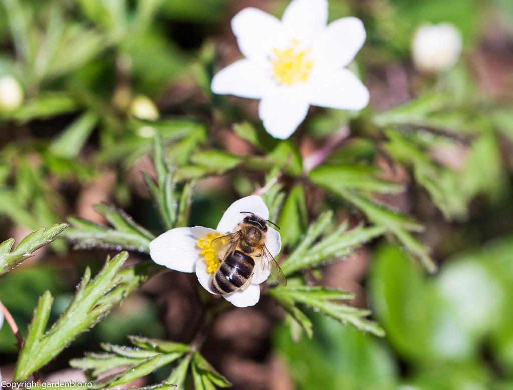 Floarea pastelui - Anemone nemorosa