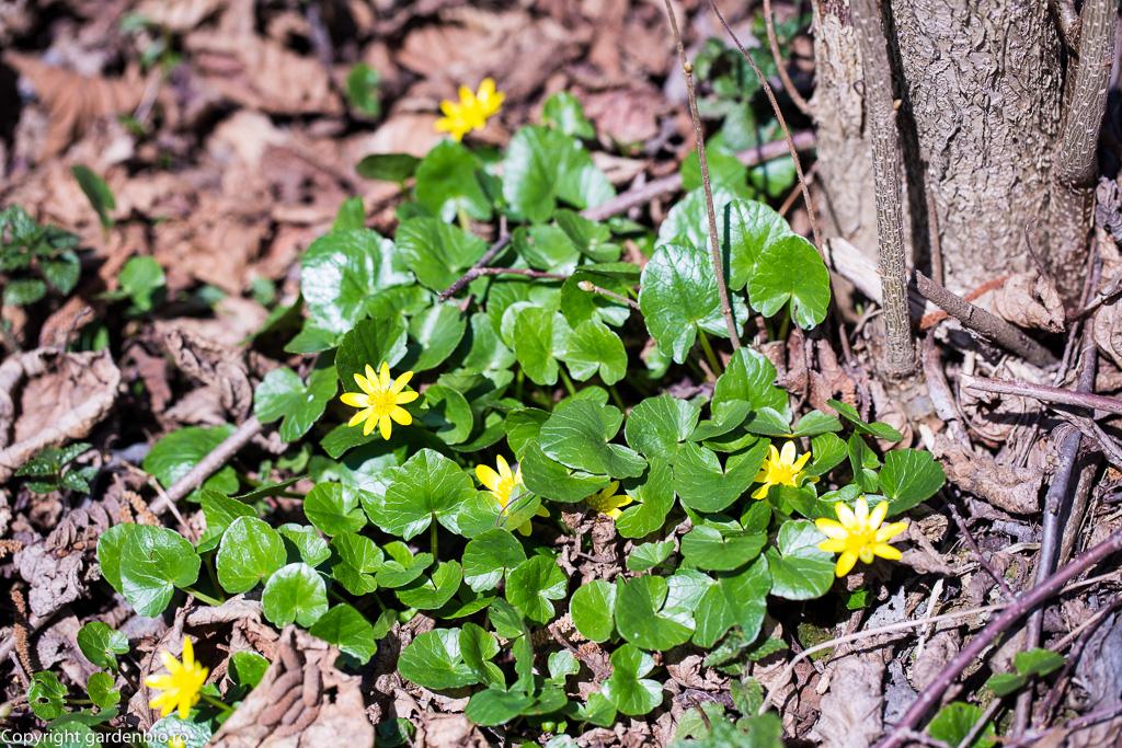 Floarea pastelui - Anemone ranunculoides