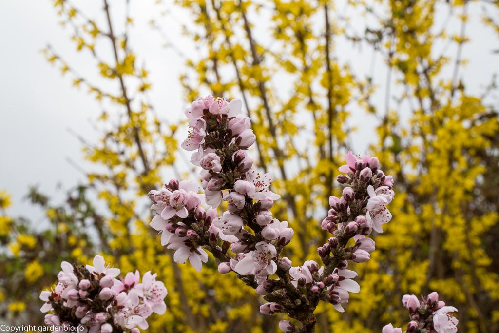 Flori de piersic si forsitia