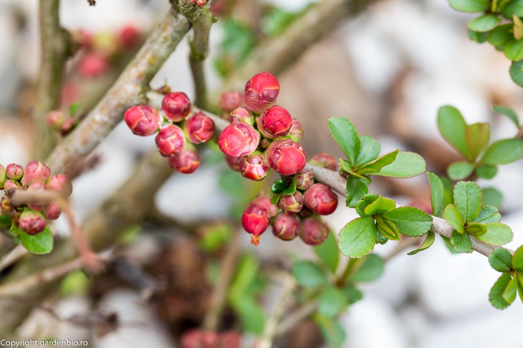Primele semne de primăvara - gutuiul japonez se pregătește să înflorească