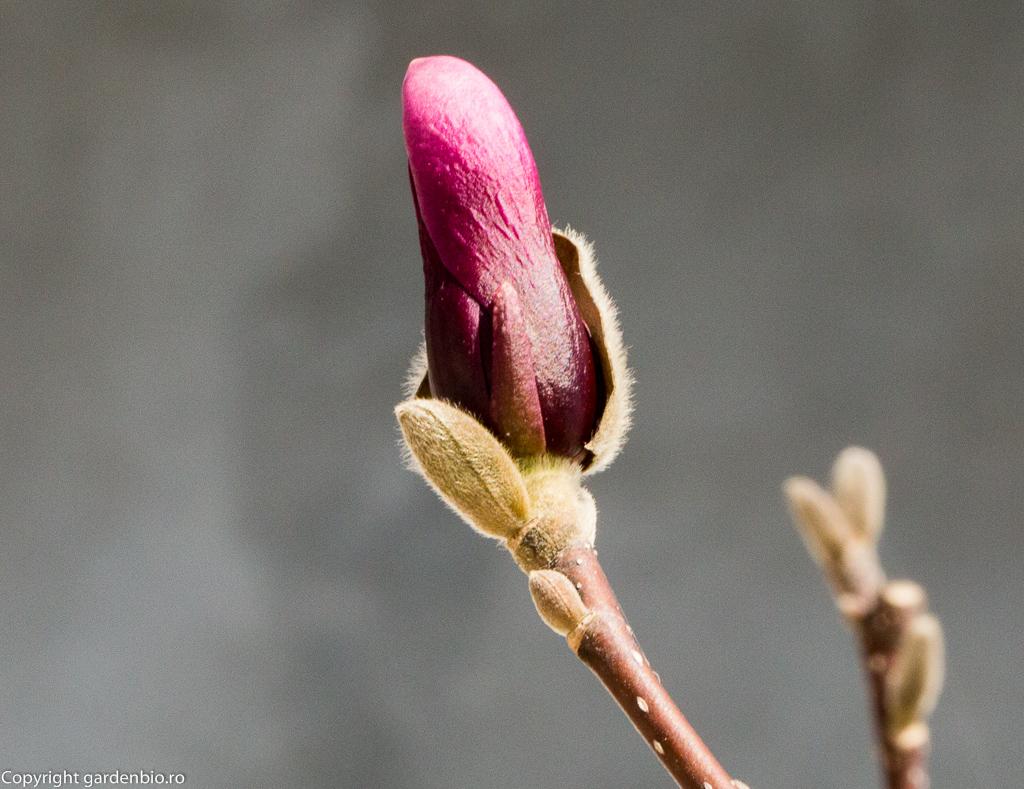 Magnolia pregatita de inflorire