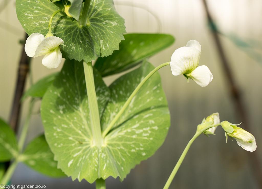 Flori de mazare