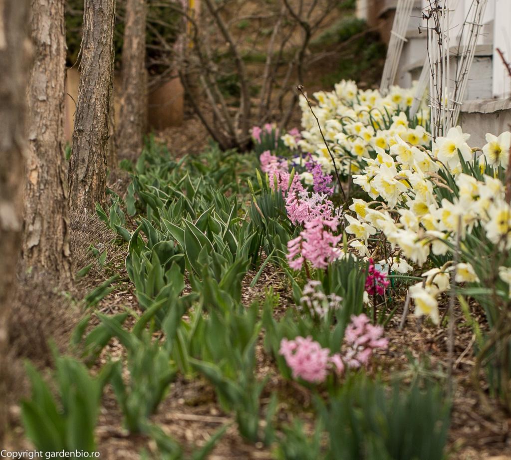 Narcise, zambile si lalele
