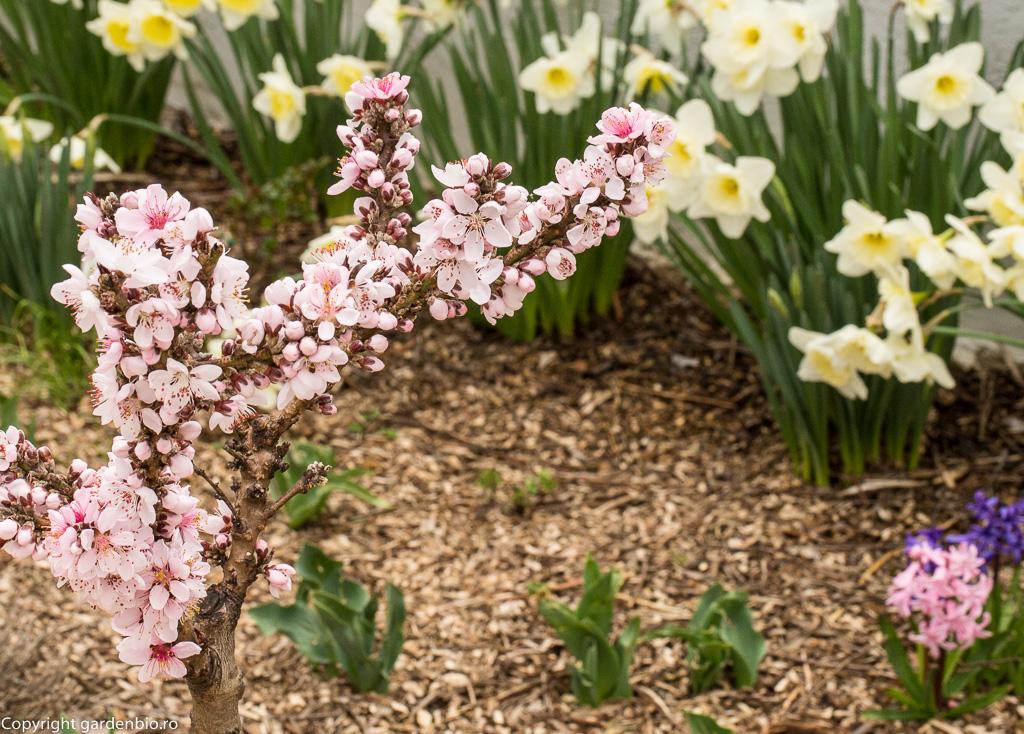 Narcise, zambile si flori de cires