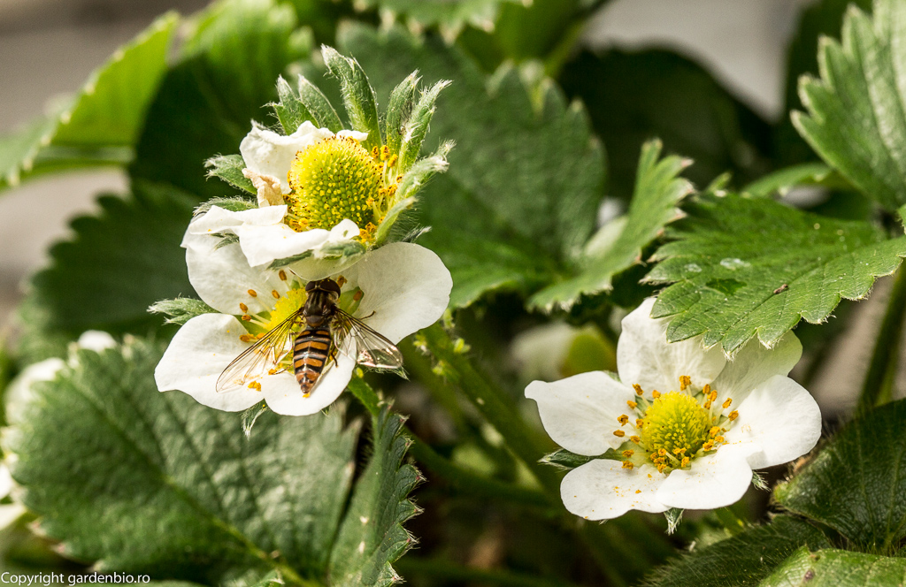 Polenizarea florilor de căpșuni de către o albină sălbatică