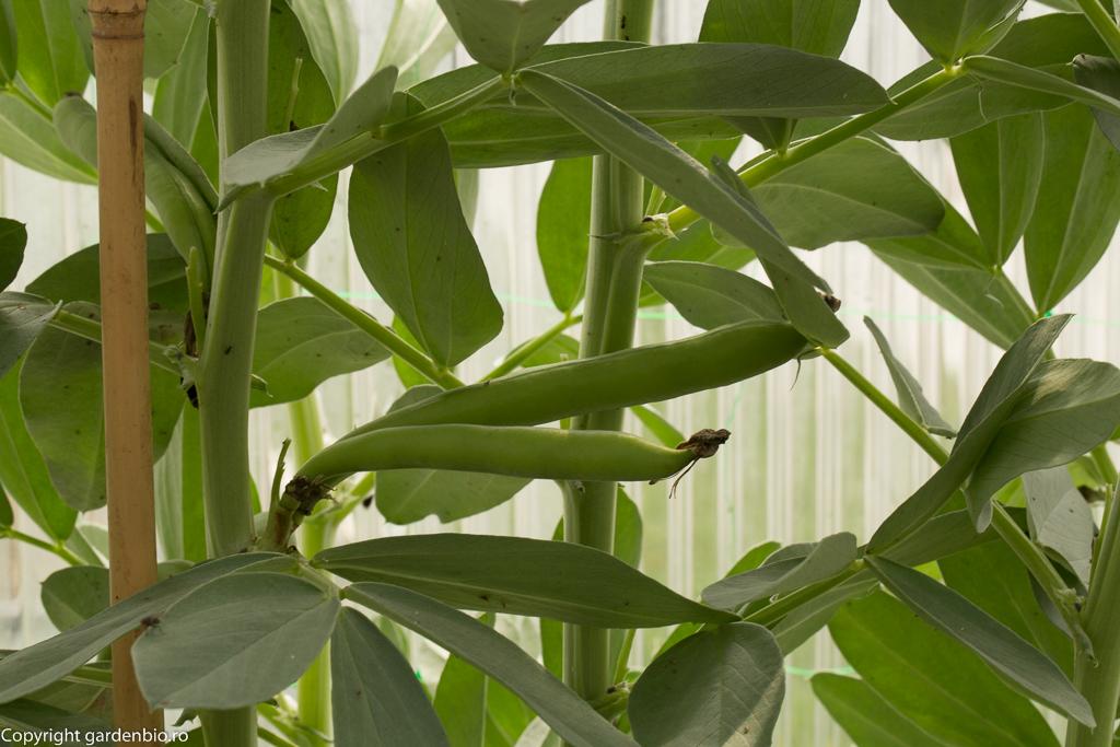 Fasole Fava semănată în toamnă răsare din februarie și puteți recolta primăvara devreme. În seră am recoltat din februarie !