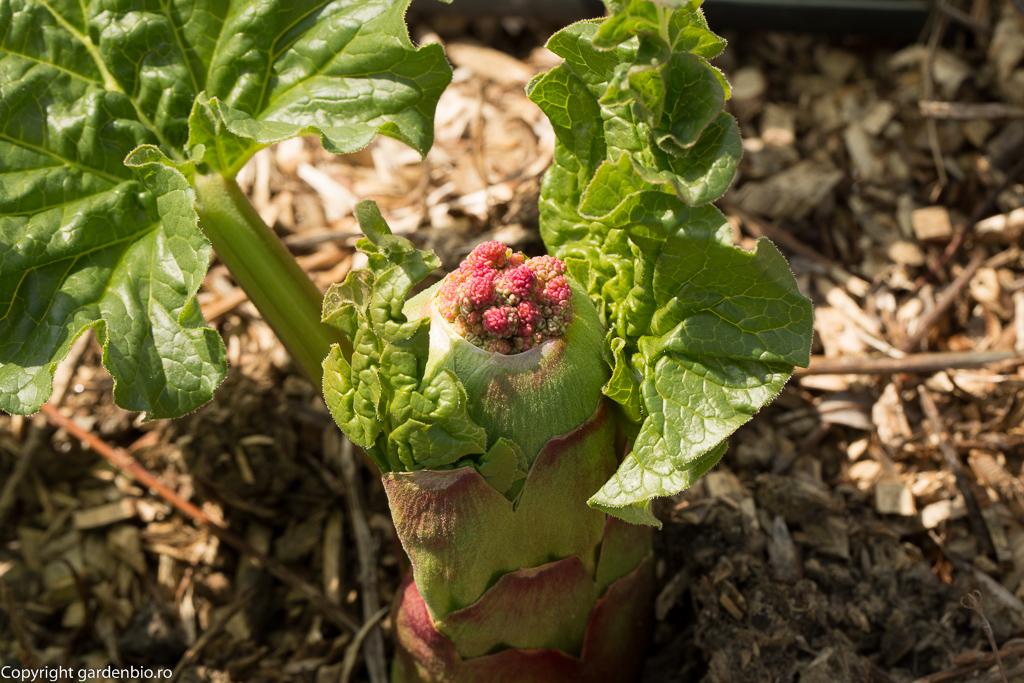 Rubarba - primii muguri ai tulpinei florifere