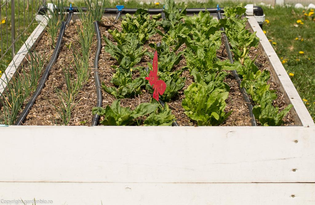 Spanac si ceapa din seminte soiul White Lisbon, in stratul de afara