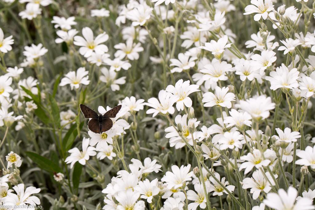 Albăstrelul argintiu, specie protejată, pe florile de cerastium