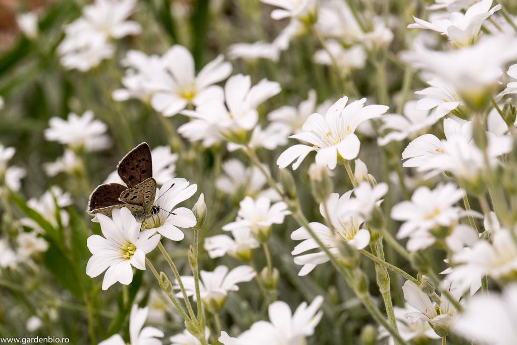 Florile de cerastium - atractie pentru fluturi in gradina