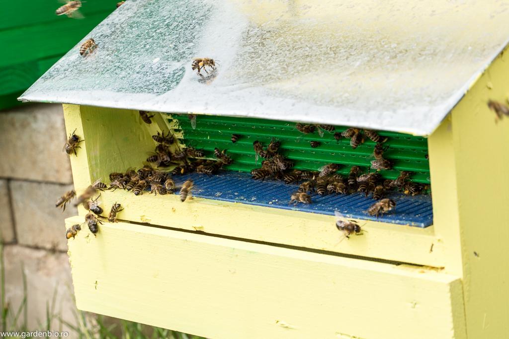 Albinele ajung la stup prin colectorul de polen