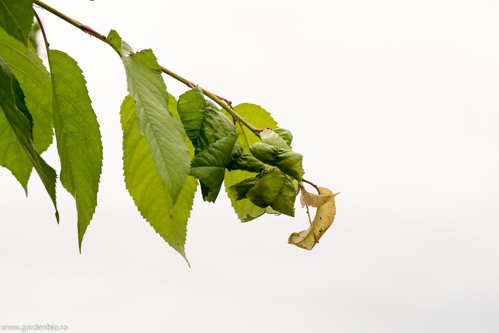 Lastarul de cires incepe sa se dezvolte dupa ce afidele au fost eliminate de buburuze si larve