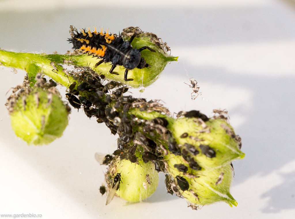Larva de buburuza, asemanatoare cu un mic aligator cu 6 picioare