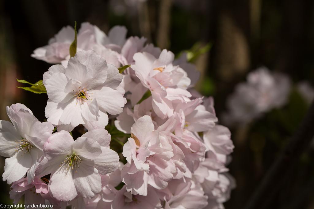Flori de cires japonez de culoare alb-roz