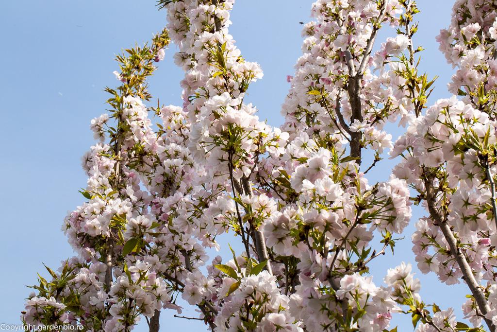 Flori de cires japonez Amanogawa