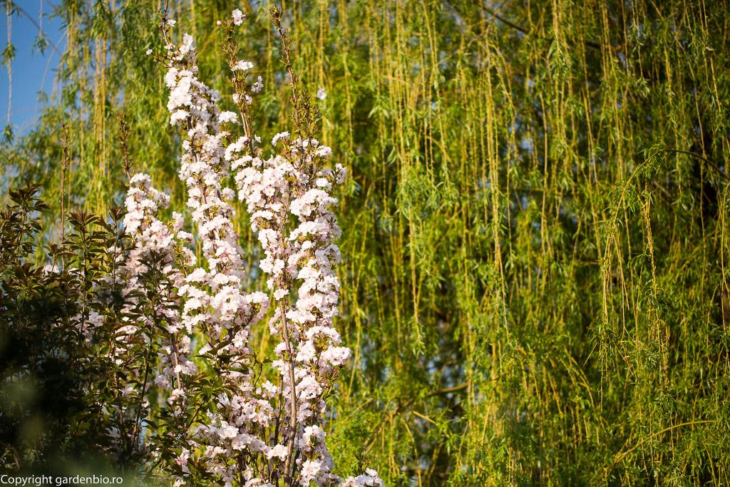 Prunus serullata Amanogawa