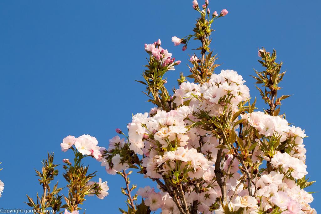 Flori de cires japonez - Prunus serrulata Amanogawa