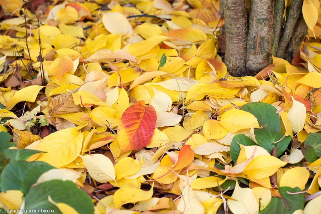 Frunze de cires japonez toamna