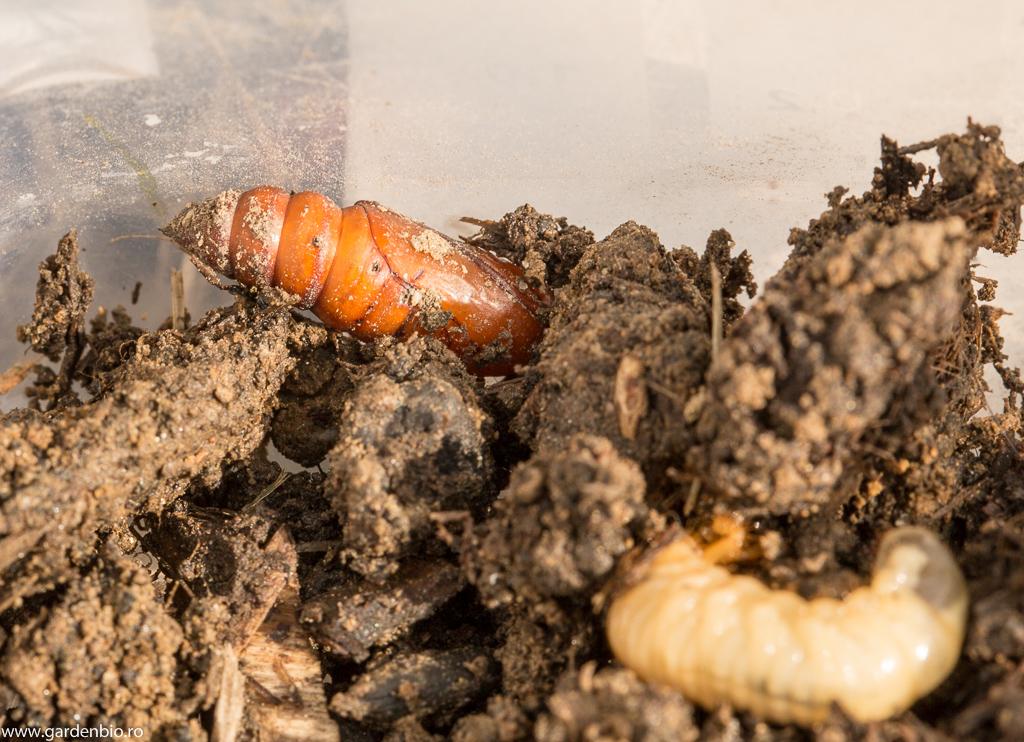 Larvă și pupă de gândac Cetonia aurata în lăzile de compost